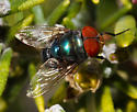 California Calliphoridae - Chrysomya megacephala - male
