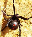 Black widow ? - Latrodectus mactans