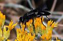 Wasp, All black, Thread-waisted