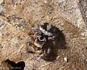 tiny jumper - Habronattus viridipes - male