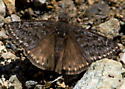 Propertius Duskywing  - Erynnis propertius - male