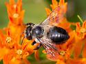 Black Leafcutter Bee - Megachile xylocopoides? - Megachile gemula - female