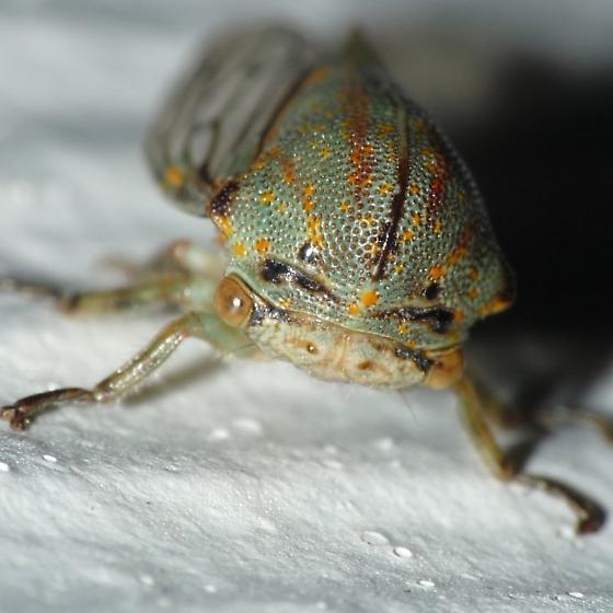 Oak Treehopper - Platycotis vittata