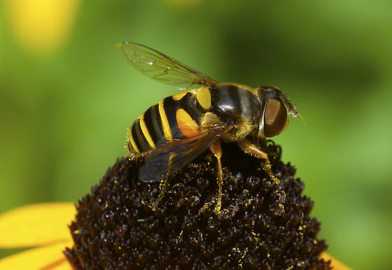 Syrphidae - but which one? - Eristalis transversa - female