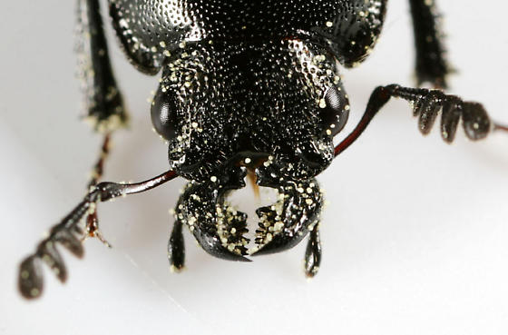 Platycerus quercus