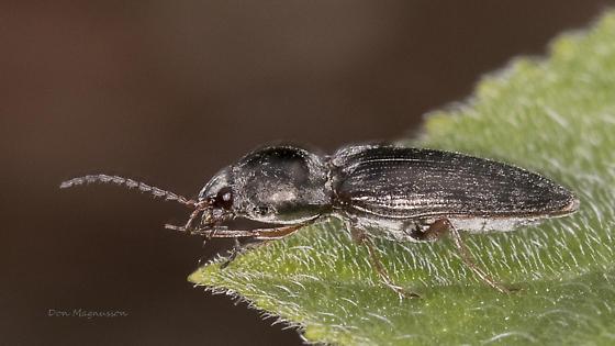 Click beetle - Cardiophorus