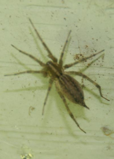 Brown Spider /Stripes - Agelenopsis