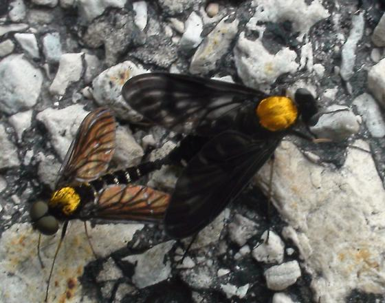 GOLDEN - BACKED SNIPE FLY.                CHRYSOPILUS THORACICUS.         - Chrysopilus thoracicus - male - female