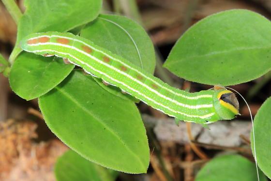 Caterpillar - Lapara bombycoides