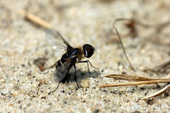 Bombyliid fly on the beach - Villa - female