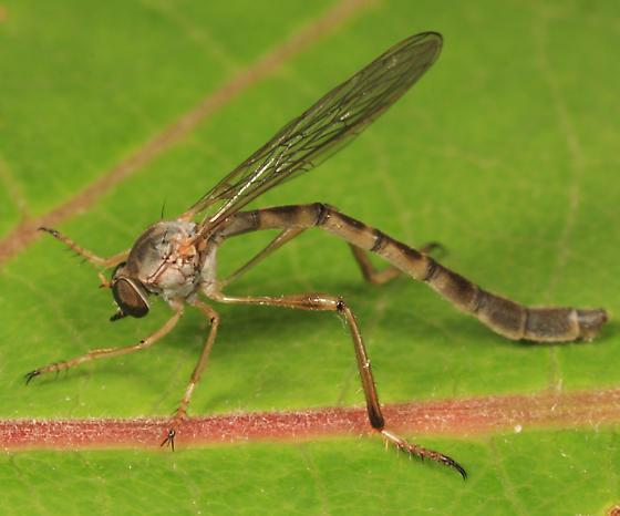 Robber Fly - Leptogaster flavipes