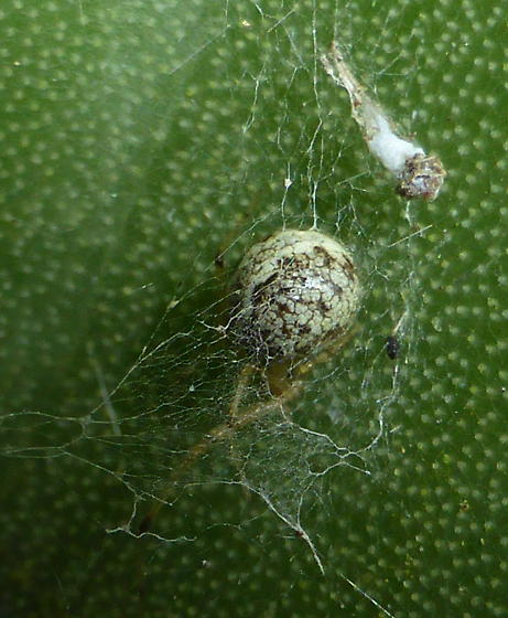 Cactus Spider - Theridion