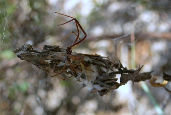 Texas panhandle spider  - Diguetia - male