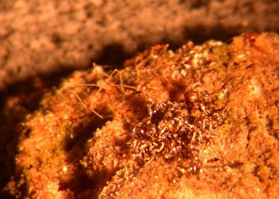 Smarididae Clypeosoma- Erythraeoidea - Clypeosoma