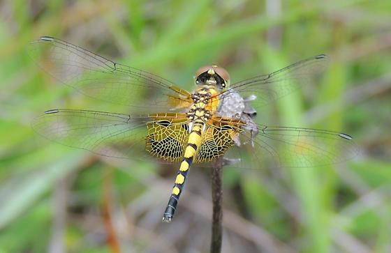 AL - Dragonfly - Celithemis amanda
