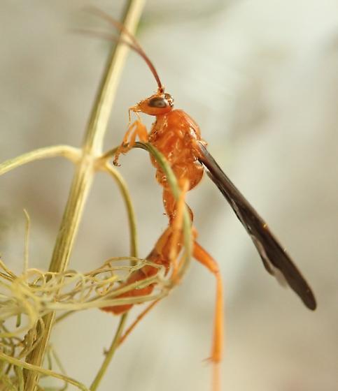 Ichneumon wasp - Trogus vulpinus