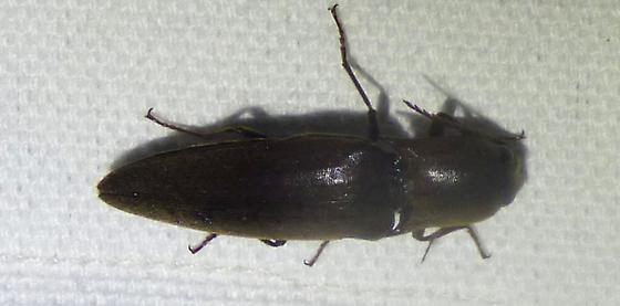 click beetle? - Orthostethus infuscatus