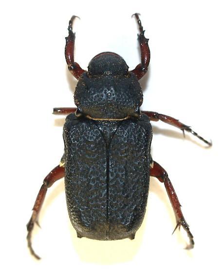 Seems we got two spp. - Cremastocheilus mexicanus
