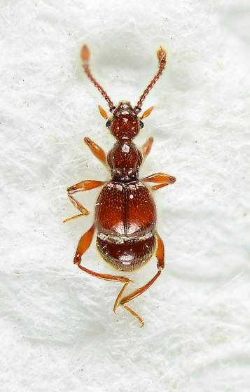 Pselaphinae  - Batrisodes albionicus
