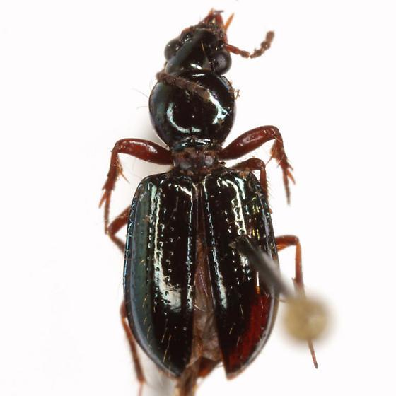Semiardistomis viridis (Say) - Semiardistomis viridis