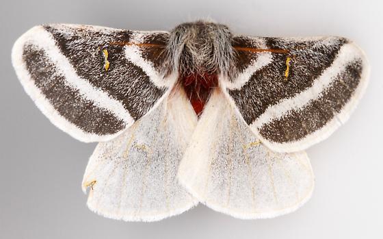 Hemileuca tricolor - male