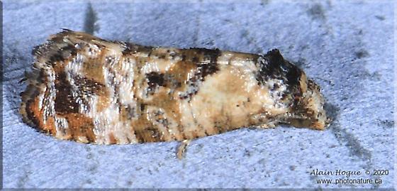 Cochylichroa hoffmanana