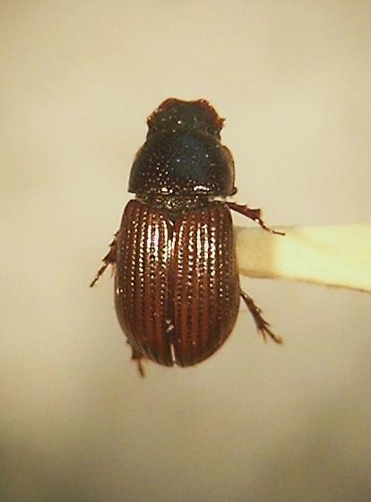Aphodius neotomae