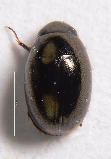 Very small Hydrophilid? - Paracymus
