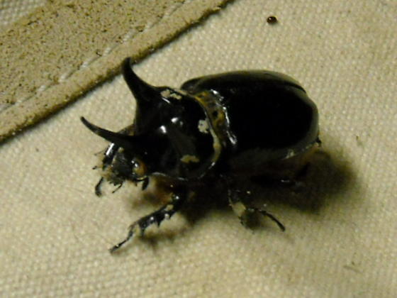 great horned beetle