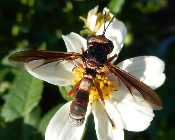 unknown fly, or possibly a wasp - Physoconops brachyrhynchus