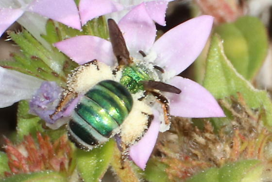 Brown-striped Agapostemon Bee? - Agapostemon splendens
