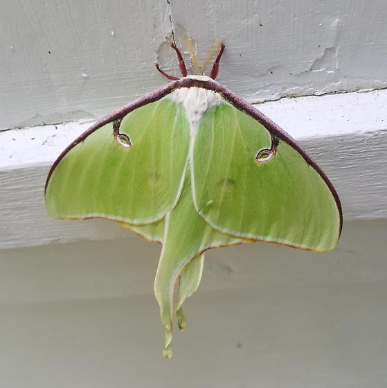 Green moth - Actias luna - female