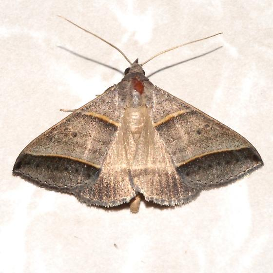 Black-tipped Ptichodis Moth - Hodges#8749 - Ptichodis vinculum
