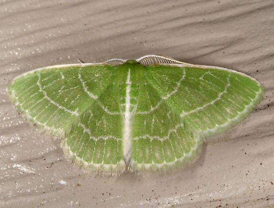 small emerald - Synchlora aerata - male