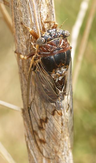 Cicada - Diceroprocta swalei