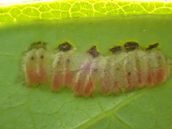 Bug Track on Spice Bush Leaf