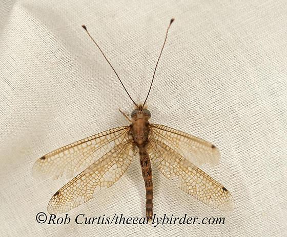 9048432 Owlfly - Ululodes macleayanus