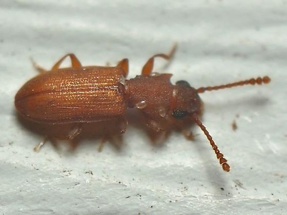 Silvanoprus scuticollis? - Silvanoprus scuticollis
