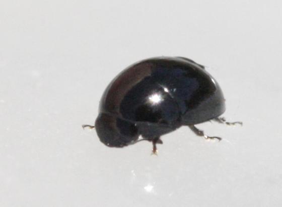 Mystery beetle - Phalacrus