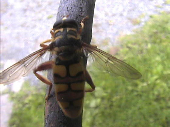 Large Fly - Milesia virginiensis