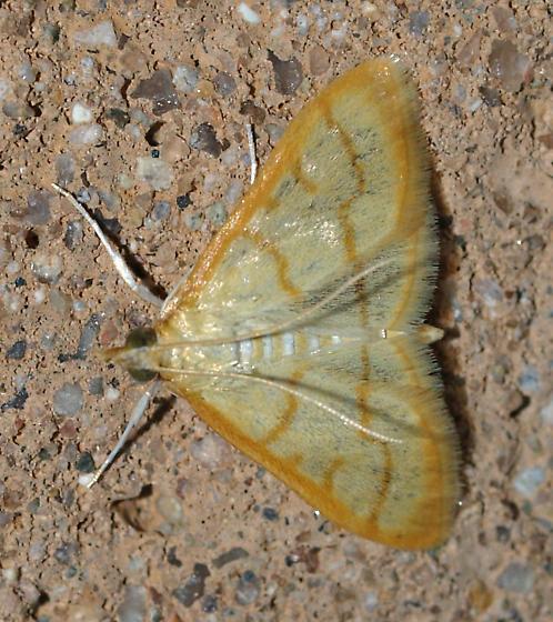 Moth - Neohelvibotys arizonensis