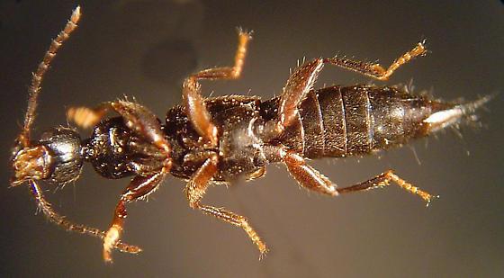 Lathrobium scolopaceum (Casey) - Lathrobium scolopaceum