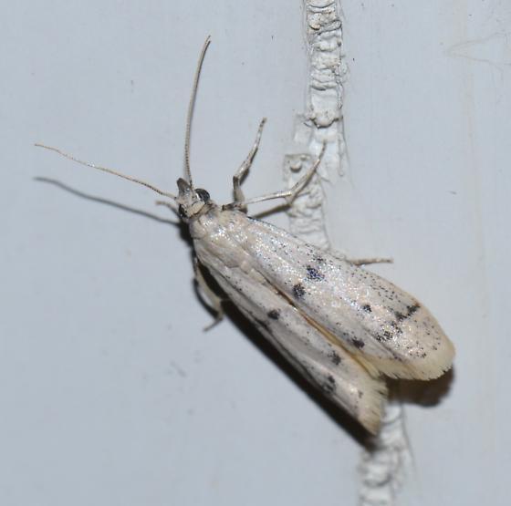 Twirler moth - Sosipatra rileyella