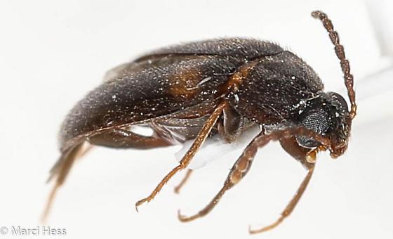 Artematopodidae? - Mycetochara