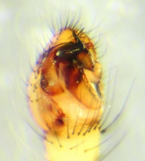 Enoplognatha ovata--voucher image - Enoplognatha ovata - male