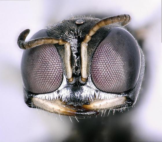 Unknown Crabronidae - Lindenius montezuma - female