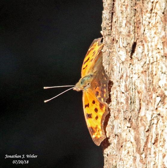 Unknown Brush-footed? - Polygonia comma
