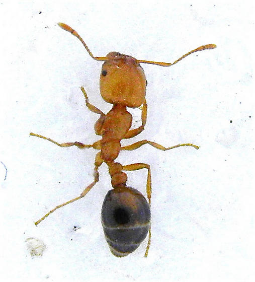 Ants invading a home in Avra Valley - Solenopsis xyloni