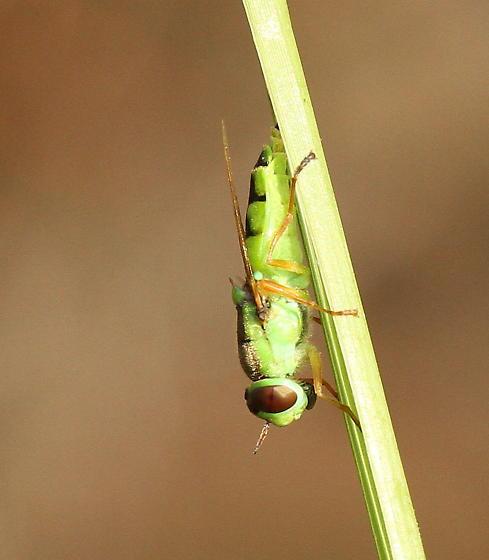Green Saltmarsh Dipteran - Odontomyia cincta - female