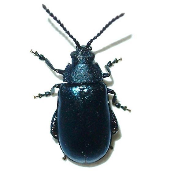 Blue Alticini - Kuschelina lugens